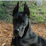 Great Dane Attacks Woman, Pet Dog On Walk